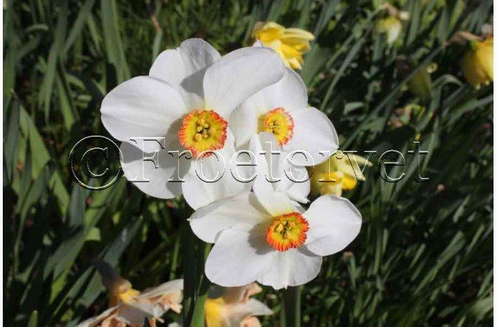 Narcis Recurvus (5 løg) - Pinselilje